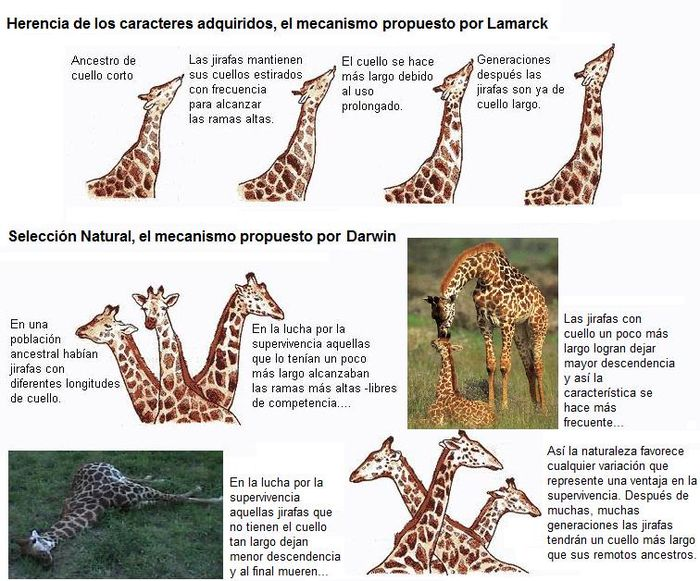 Tema 2  Evolución biológica  - Wiki CCH